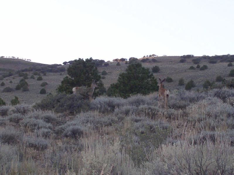 mule deer at twilight at Hart Mountain