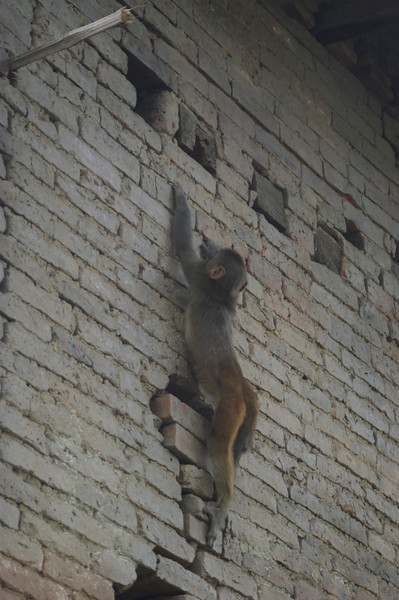 Monkey at Pashupatinath