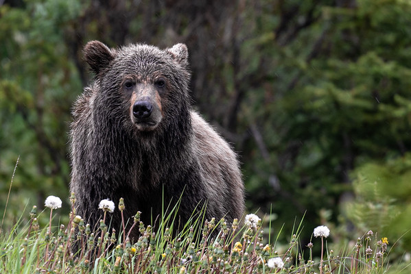 7-2-30 Grizzly Bear - Single Bear