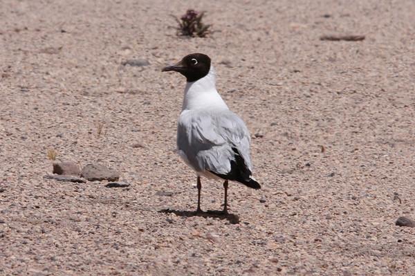Gaviota Andean Andean Gull