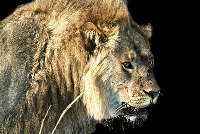 Lion at Hwange National Park