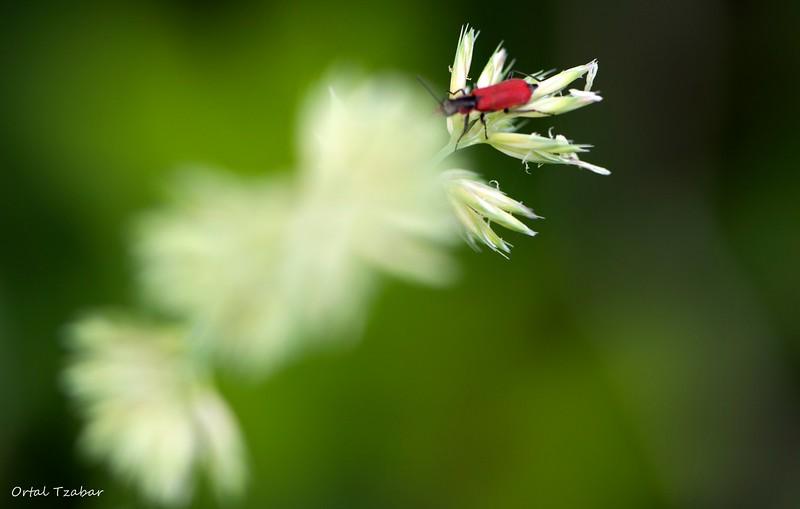 חיפושית אדומה.jpg