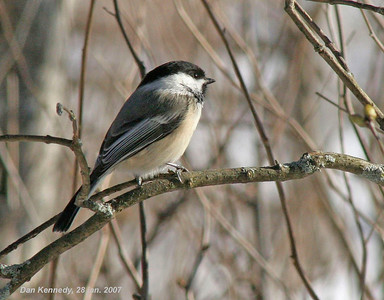 Chickadees, Nuthatches and Their Allies