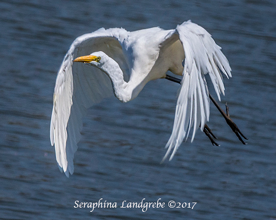 _DSC9269Great Egret.jpg