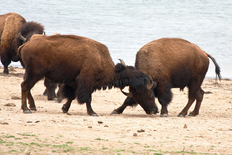 American Bison-5