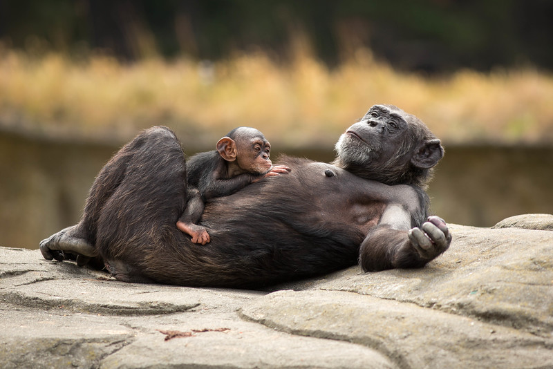 chimpanzee-chilling-with-mother.jpg