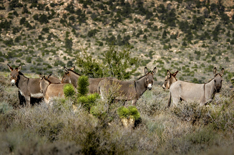 Wild Burros Red Rock Canyon State Park, Nevada #3                  ada