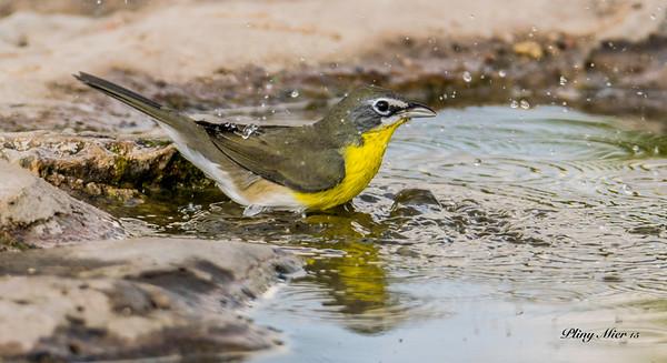 Yellow-bellied ChatDSC_2389.jpg