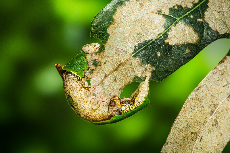 Lace-capped caterpillar (Oligocentria lignicolor) on oak leaf