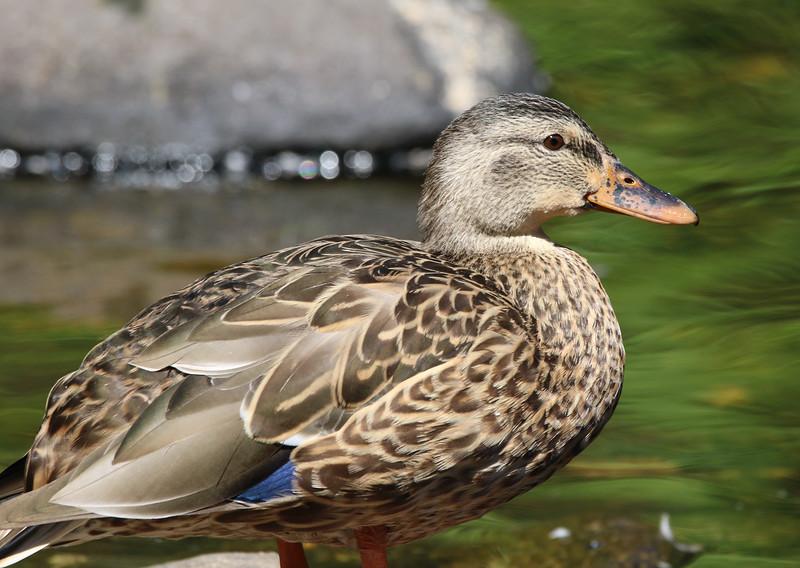 female mallard duck 2.jpg
