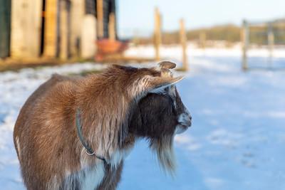 Goats & Sheep