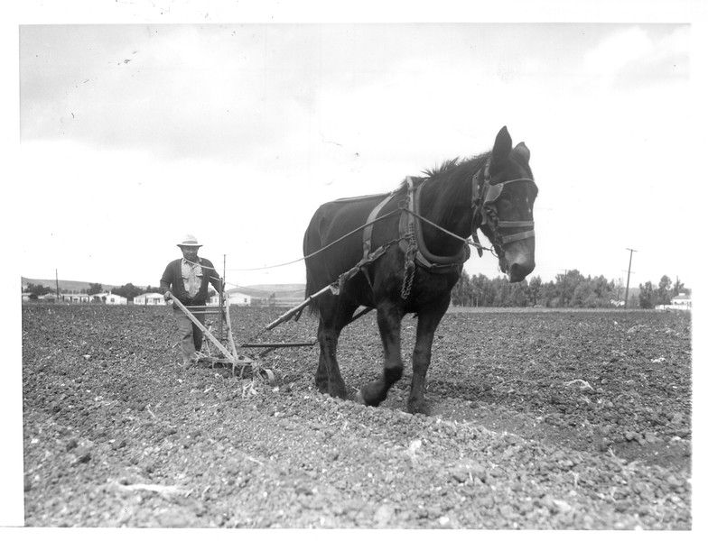 """""""T. Sumi (Issei) cultivating a truck garden in Gardena.  He uses a horse.""""--caption on photograph"""