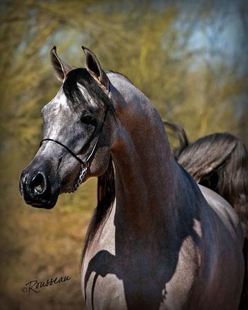 All Stars Arabians