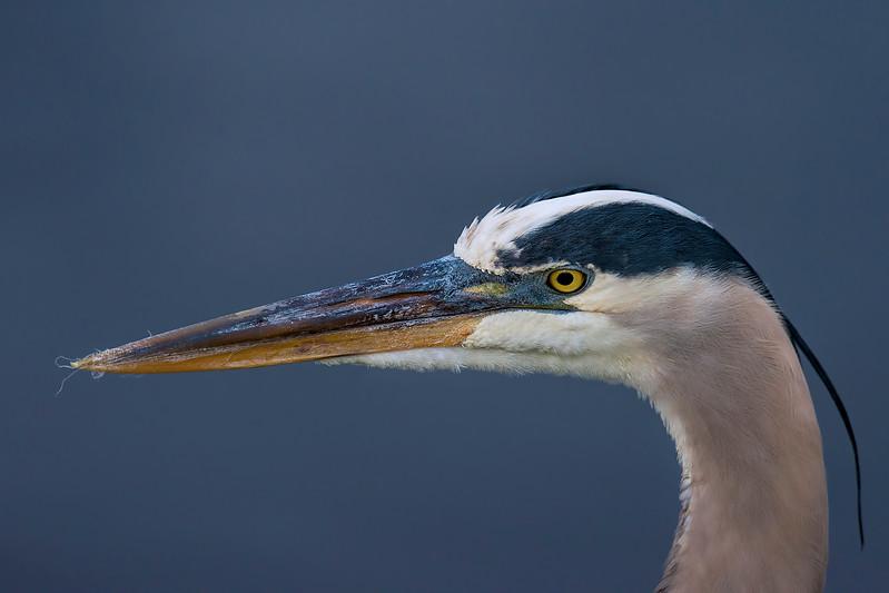 Great Blue Heron  #1523