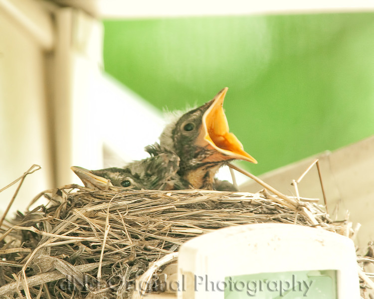 061 Baby Robins Spring 2013.jpg