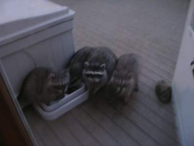 2005/07 - Racoons