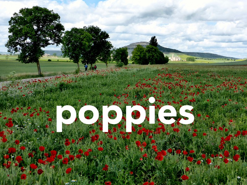 Poppies_Cover2.jpg