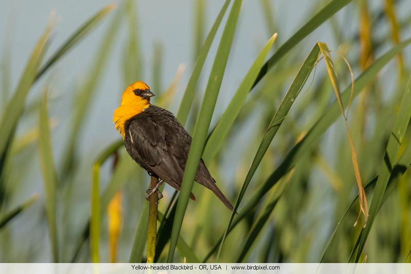Yellow-headed Blackbird - OR, USA