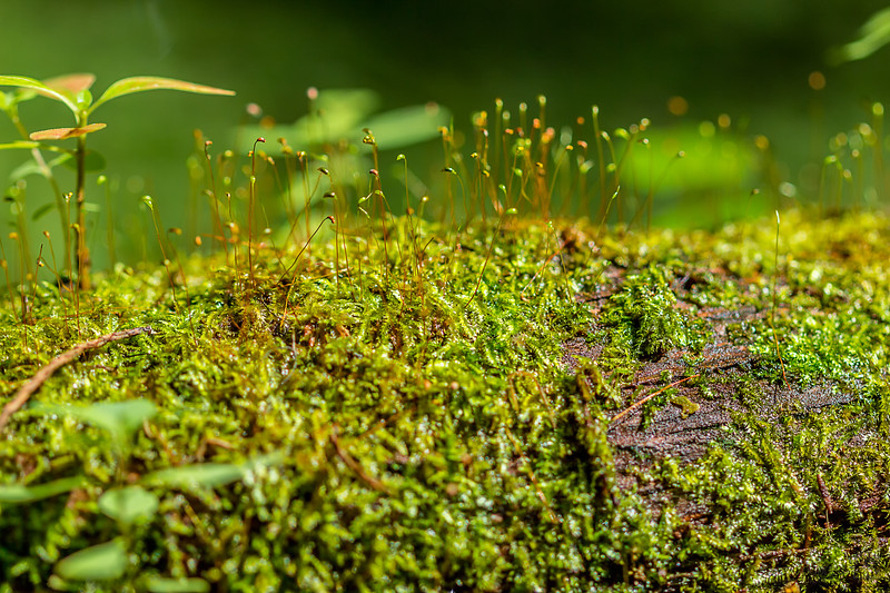 Moss with emerged sporophytes