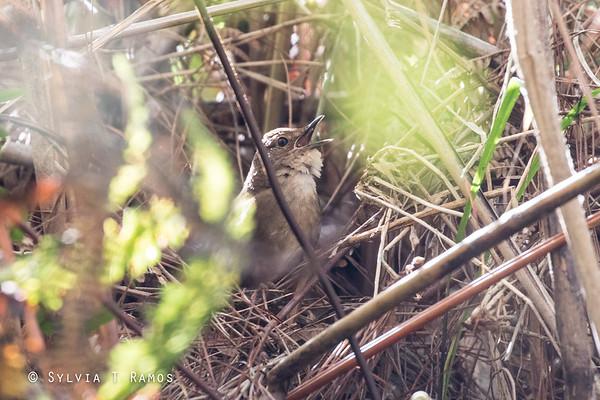 Benguet Bush Warbler