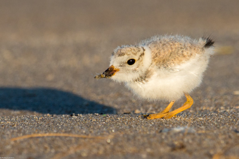 Plover Chick With Breakfast