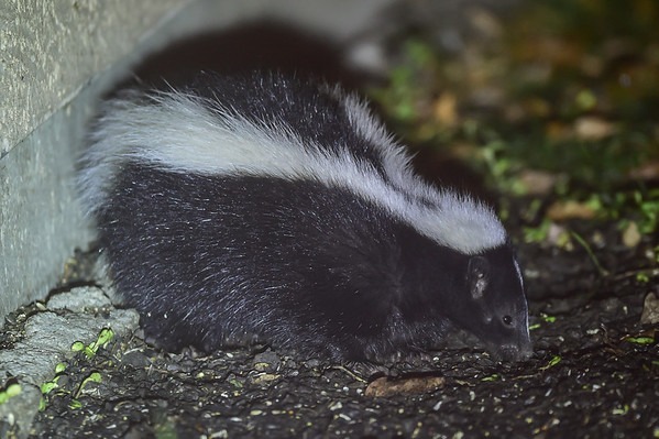 10-8-16 *^Skunk