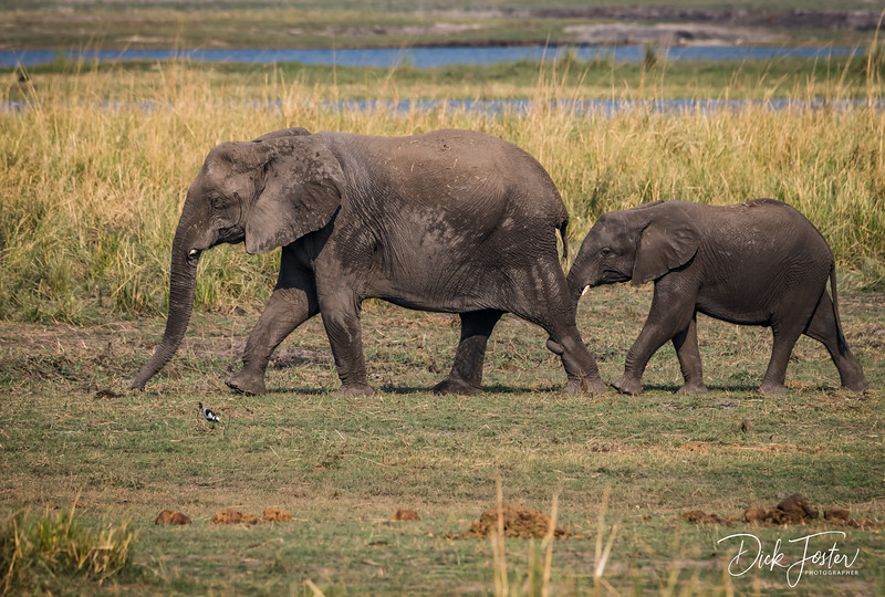 Mom and Young Elephant