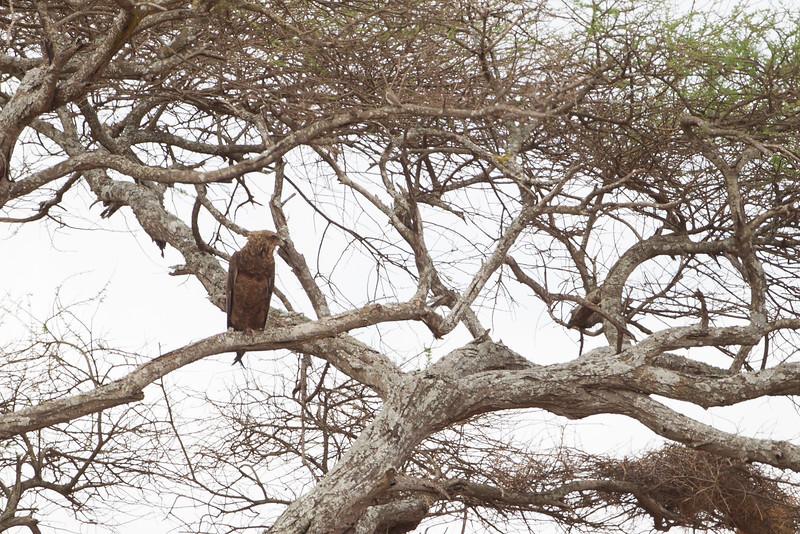 Wahlberg's Eagle - Record - Tarangire National Park, Tanzania