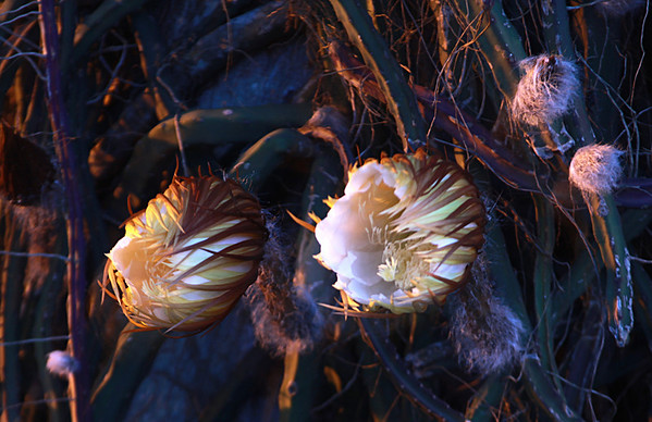 Cerius Blossoms