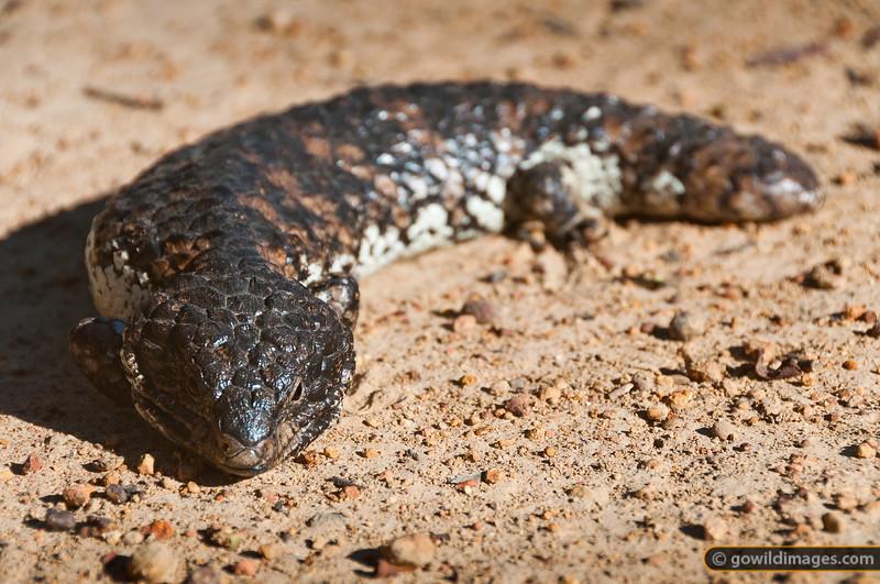 Eastern Shingleback 'Stumpy tailed lizard', southern Grampians