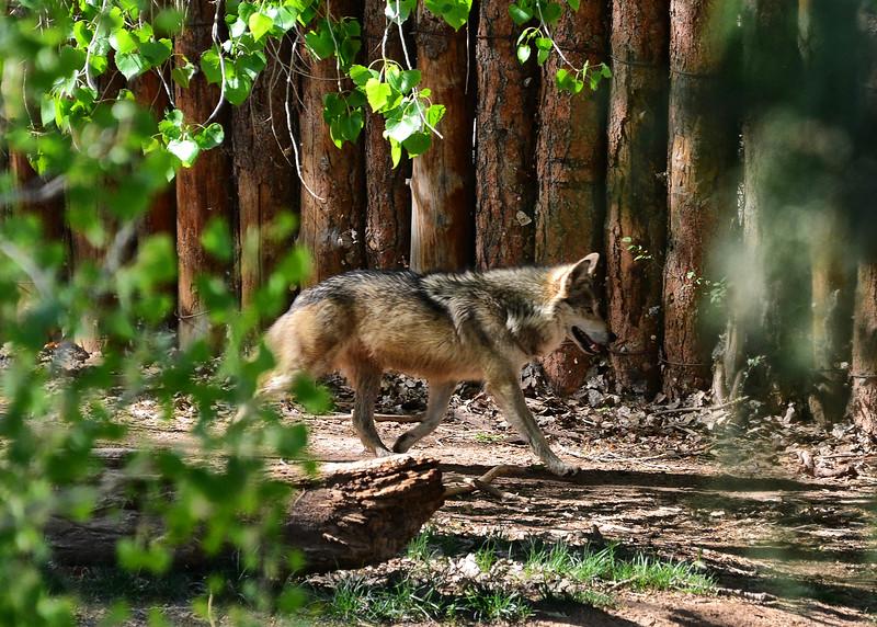 NEA_0660-7x5-Mexican Gray Wolf.jpg