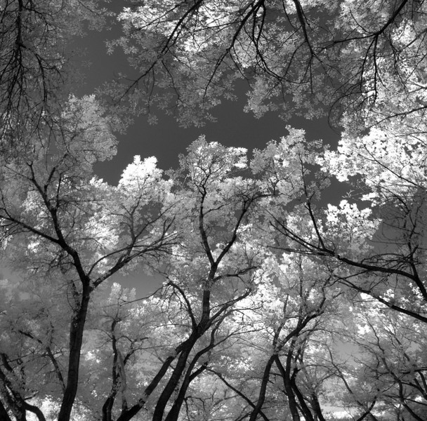 Cottonwoods Along The Rio Grande