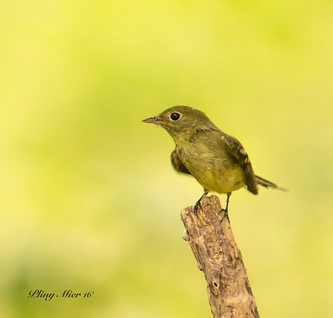 Yellow-bellied Flycatcher_DWL2746.jpg