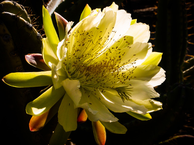 Cactus flower, Stanford University, California, 2005