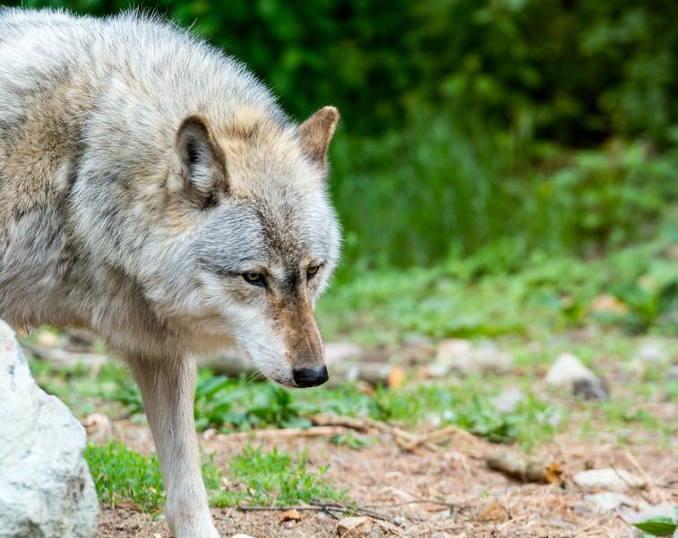 2016 Wolf Institute - Ely, MN-15.jpg