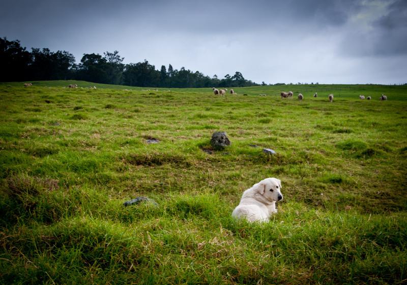 Sheep Dog at Work.