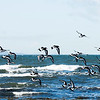 Oystercatchers in flight