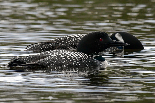 5-6-18 **Common Loon - First One This Year
