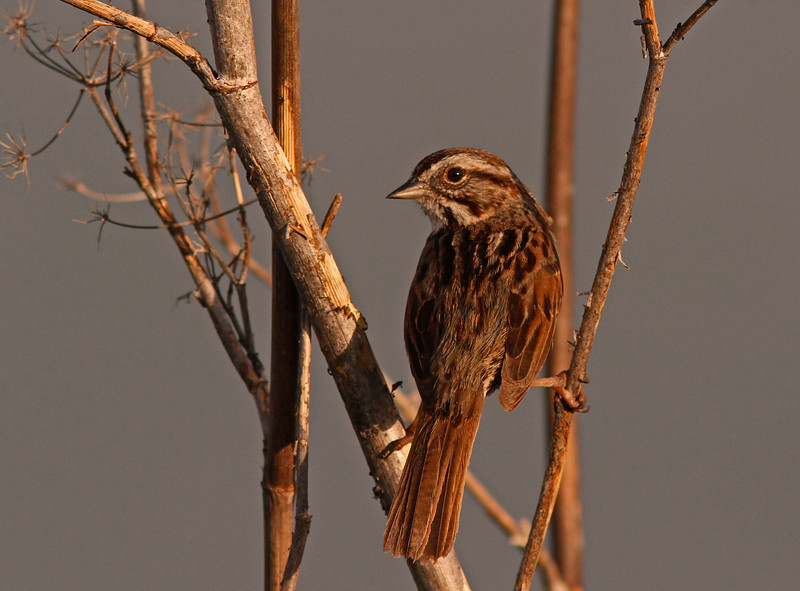 Song Sparrow, Las Gallinas