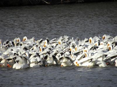 Pelican Feeding Videos--2016-3/29,10/1,10/29, 2017-4/8,10/30, 2018-03/16