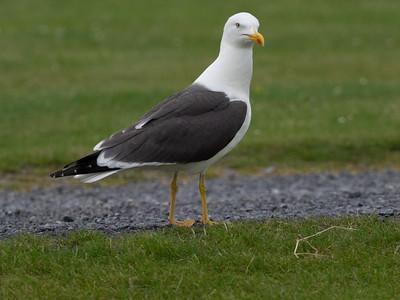 Lesser Black Winged Gull