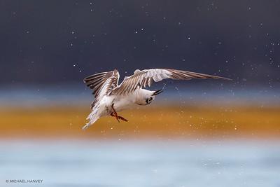 Gulls, Terns