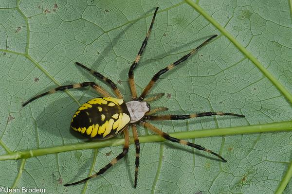 Famille Araneidae; Argiope, Cercidia, Hypsosinga, Singa,Larinoides