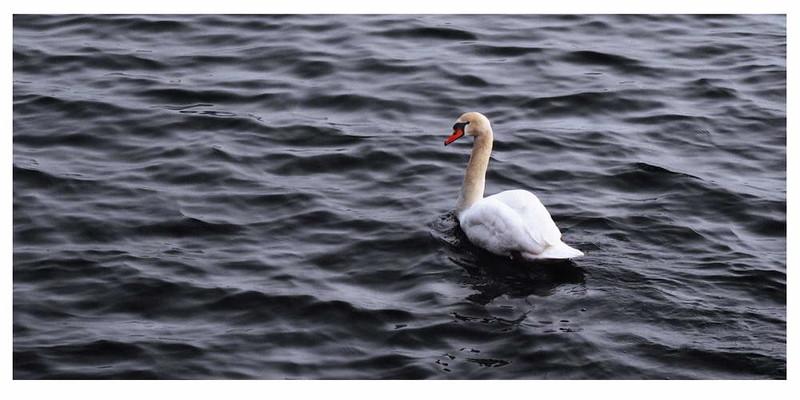 BirdSwan.jpg