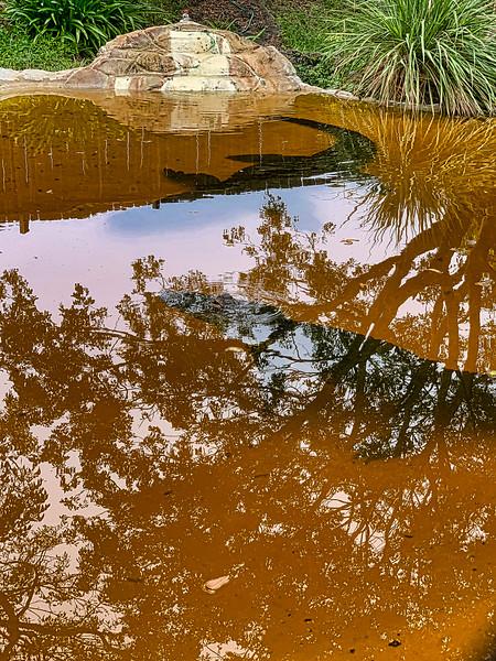 alligators under the water