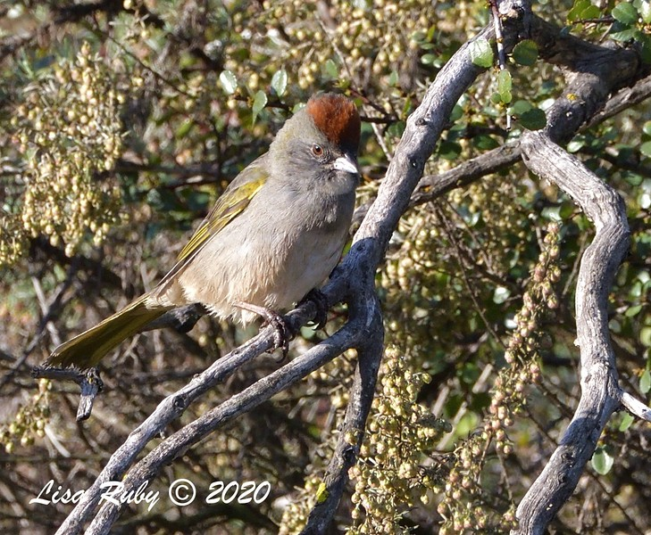 Green-tailed Towhee  - 1/3/2020 - Lake Hodges Bernardo Bay Trail