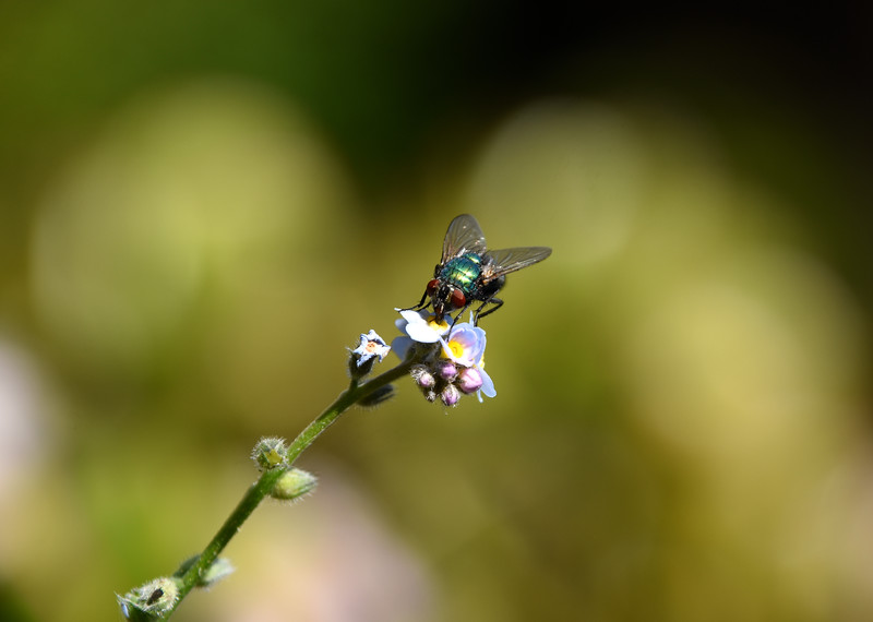 Fly-forget-me-not-rjduff.jpg