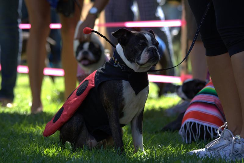 boston terrier oct 2010 111.jpg