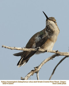 Rufous Hummingbird F29343.jpg
