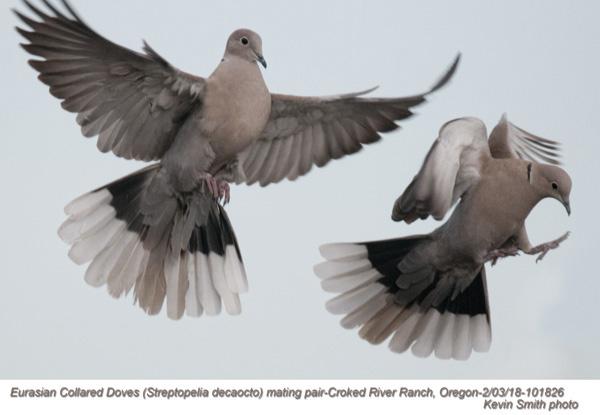 Eurasian Collared Doves 101826.jpg